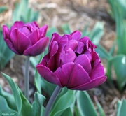 17th Apr 2019 - Frilly Tulips