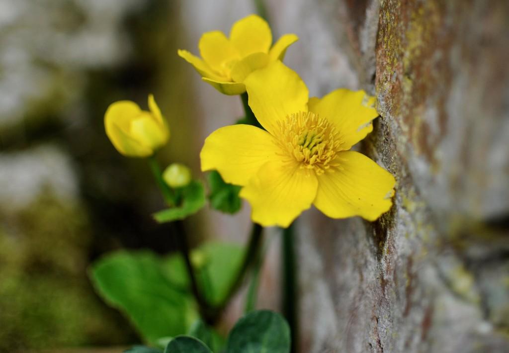 Marsh Marigold by rosie00