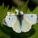 ORANGE TIP - Female