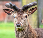 18th Apr 2019 - Deer Deer Me