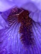 18th Apr 2019 - Interior of an iris