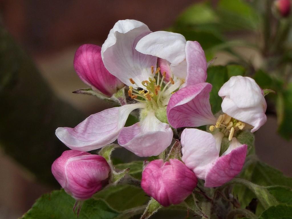 Apple Blossom  by susiemc