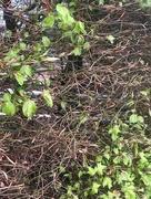 18th Apr 2019 - Copper Beech Hedge
