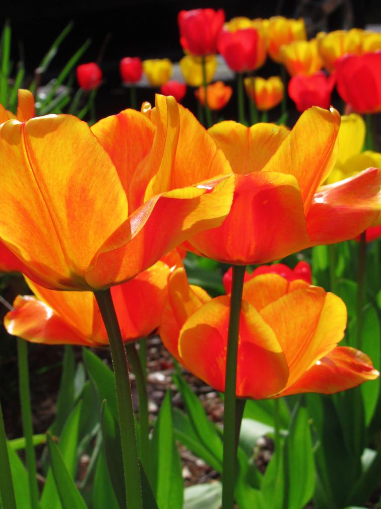 Tulip Season 2019 by granagringa