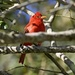 LHG_7255 Summer tanager by rontu