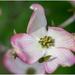 dogwood blossom by jernst1779
