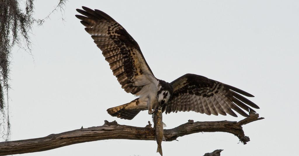 Osprey Having a Snack! by rickster549