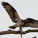 Osprey Having a Snack!