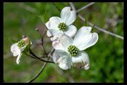 18th Apr 2019 - Tree Blossoms
