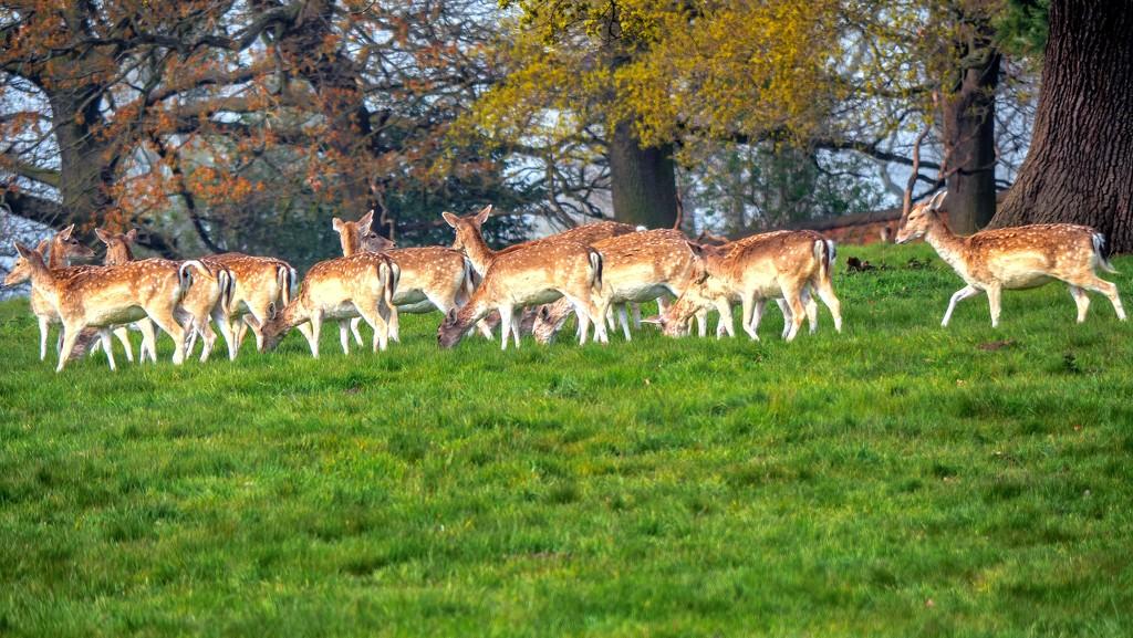 Fallow Deer.  by tonygig