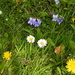 Violets, Daisys and  Dandelions