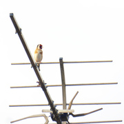18th Apr 2019 - Bird on the wire