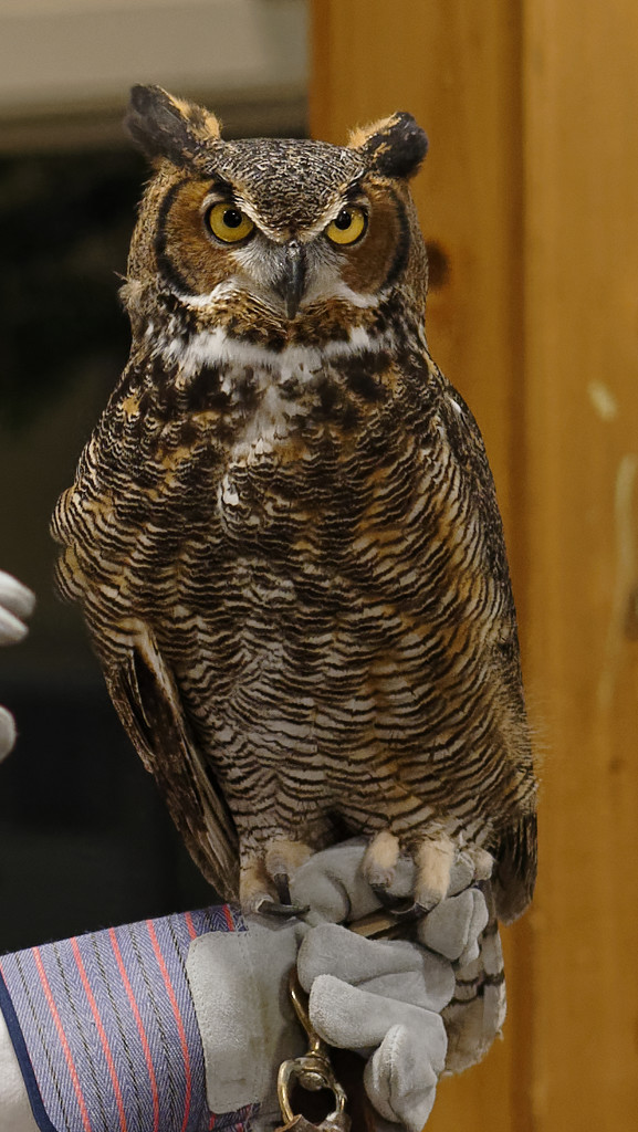 Great Horned Owl by rminer