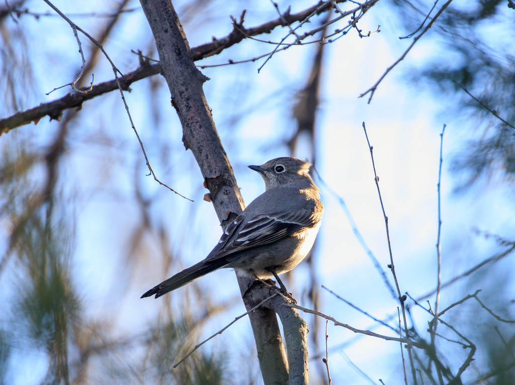 vireo by aecasey