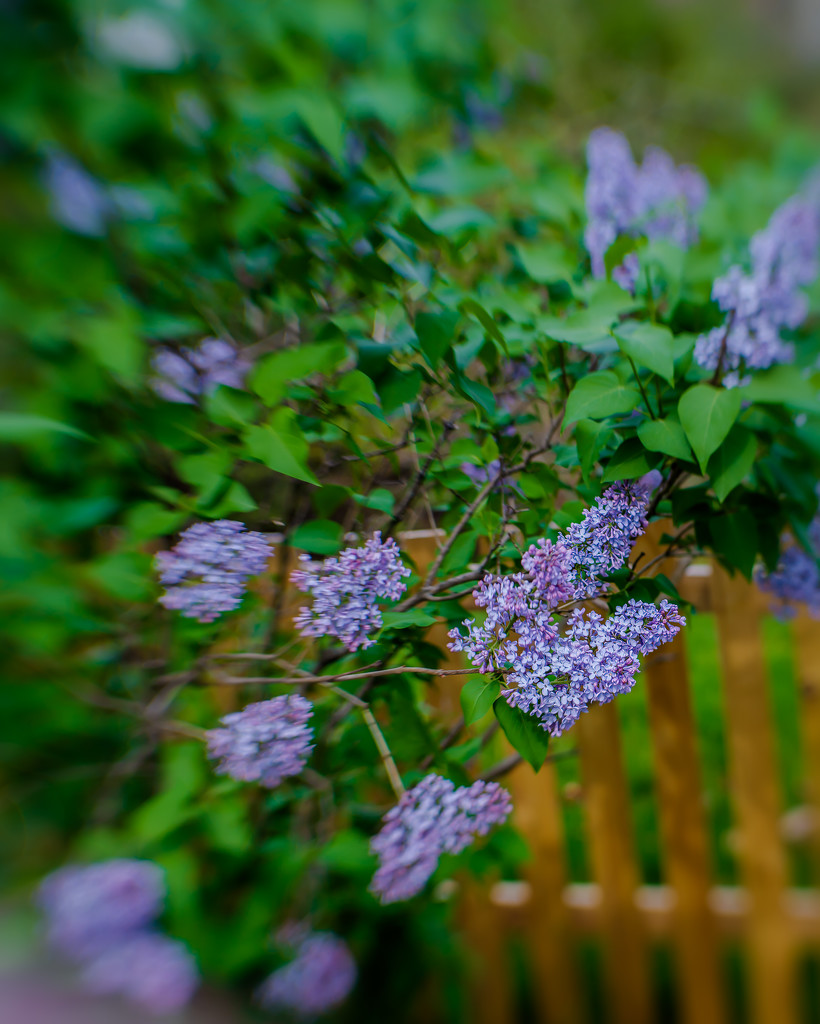lilacs by the fence by jernst1779