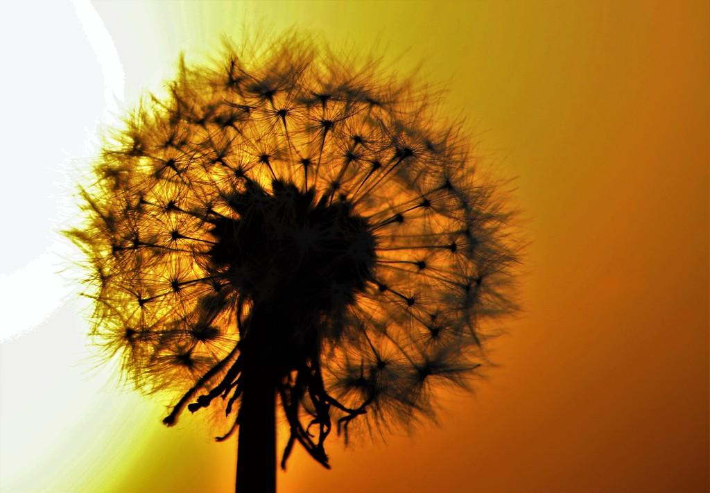Golden Fluff by carole_sandford
