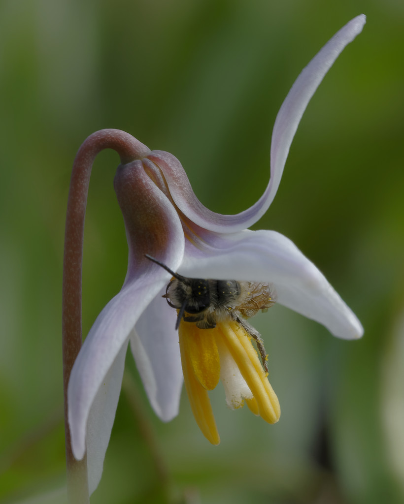 trout lily bee pollen by rminer