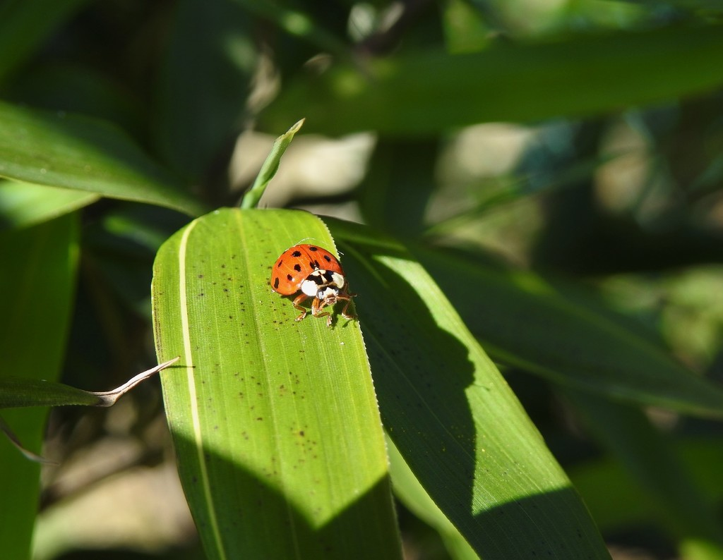 A ladybird in the garden by roachling