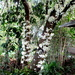 Japoticaba Tree in full bloom