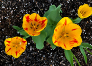 19th Apr 2019 - Tulips