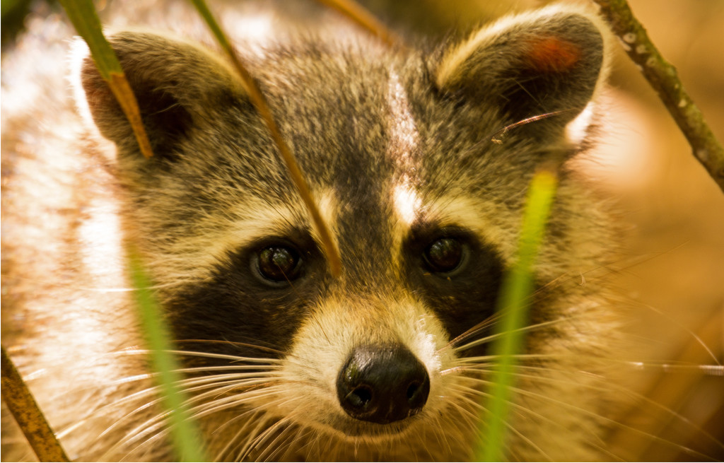 Rocky Raccoon in Your Face! by rickster549