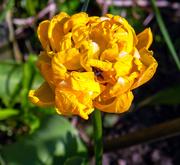 20th Apr 2019 - Yellow Tulip.