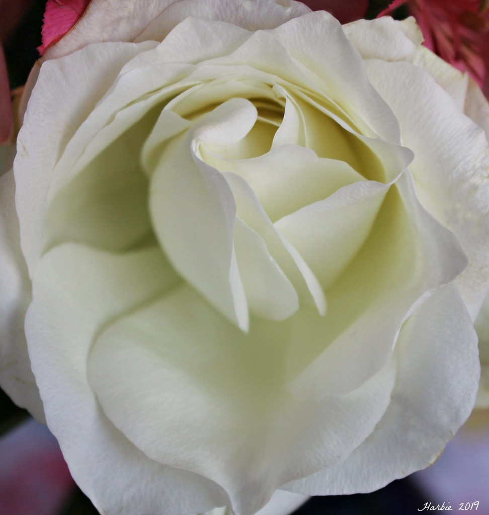 White Rose by harbie