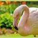 Flamingo by carolmw