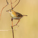 Sounds like a POSH bird: Golden-headed Cisticola by gigiflower