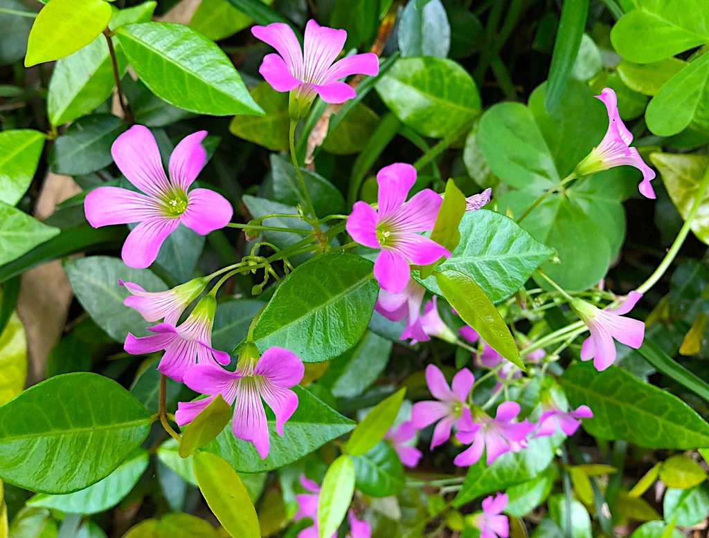 Wildflowers (violets) in our garden. by congaree