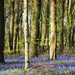 Bluebells and rape