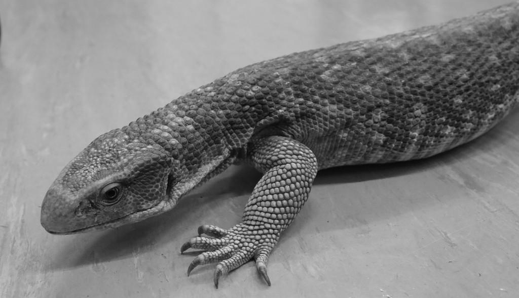 Lizard by netkonnexion