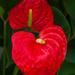 Big Red Bloom Anthuriam
