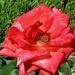 Deep Coral Rose ~