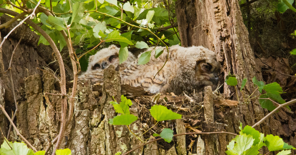 Great Horned Owl Baby's!! by rickster549