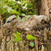 Great Horned Owl Baby's!!