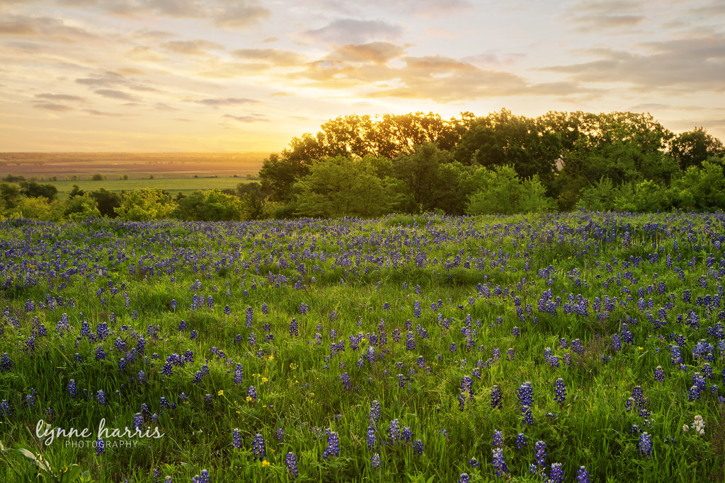 Bluebonnet Sunrise by lynne5477