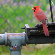 19th Apr 2019 - Cardinals are my favorites!