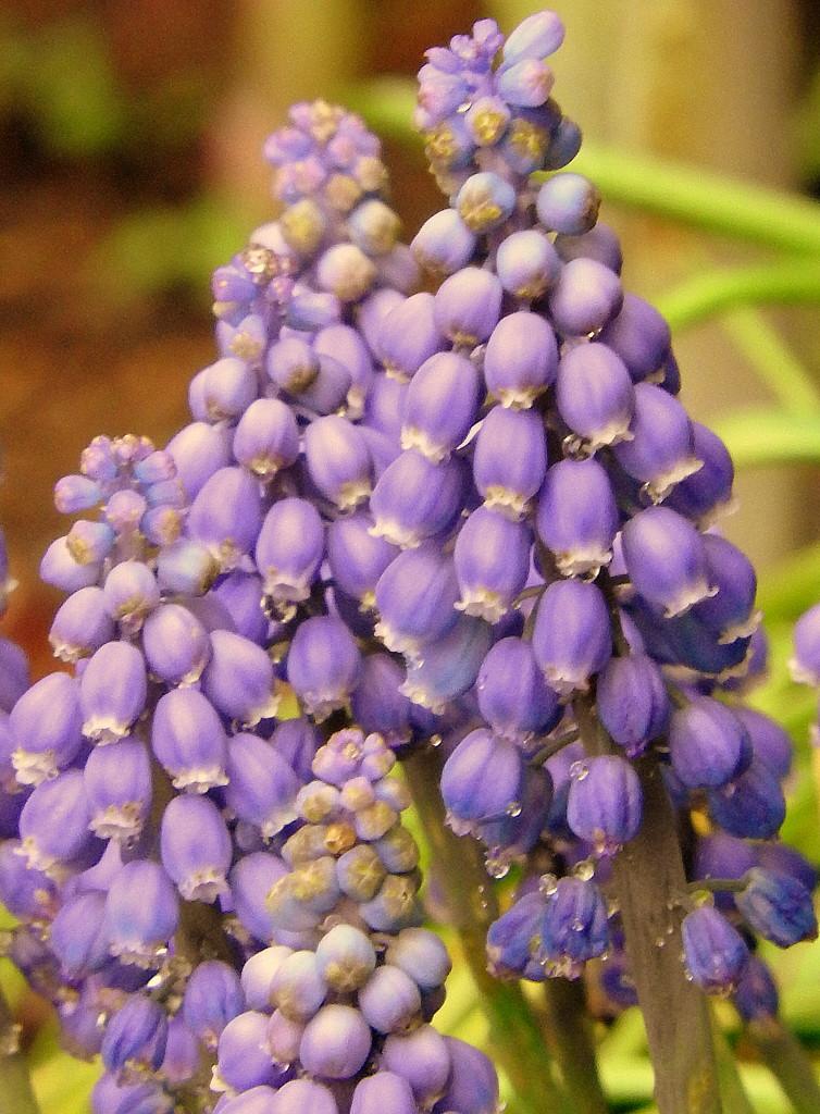 Pretty purple muscari by homeschoolmom