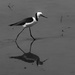 A strutting stilt!