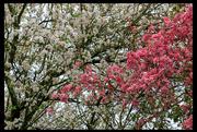 20th Apr 2019 - Spring Blossoms