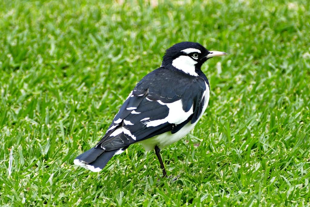Peewee or Magpie Lark by judithdeacon
