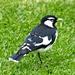 Peewee or Magpie Lark