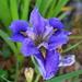 Iris, Magnolia Gardens by congaree