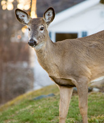 20th Apr 2019 - Deer