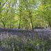 bluebell wood muncaster