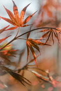 21st Apr 2019 - Newly opened Maple leaves