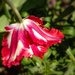 Tulip in Mt. Vernon garden