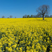The yellow season by ellida