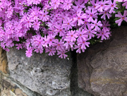 21st Apr 2019 - Creeping Phlox